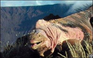 pink-iguana